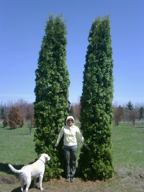 Thuja occidentalis 'Pyramidalis' 12-15′ : Green Acres Tree ...