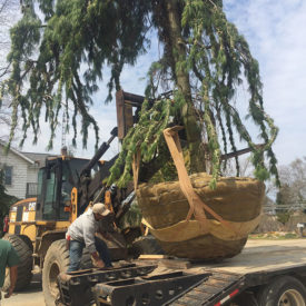 Loading Specimen Weeping White Pine