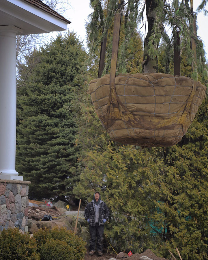 Unloading Weeping White Pine with Crane