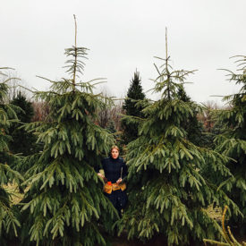 Picea engelmanni