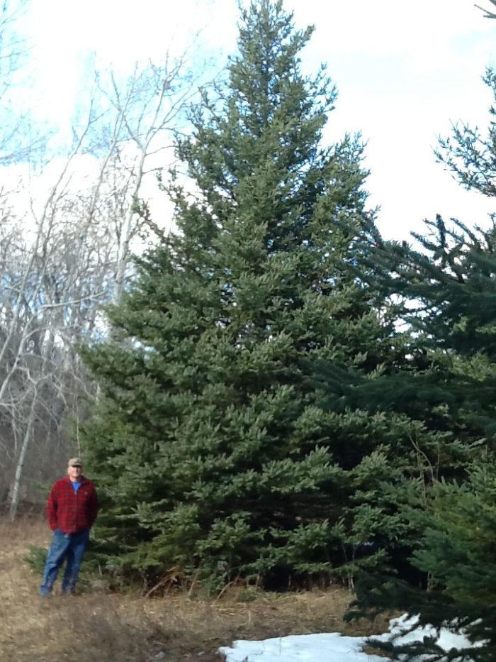 Picea glauca