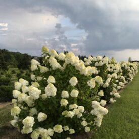 "36 - 42"" Hydrangea paniculata"