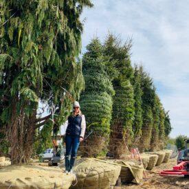 Mature Evergreens headed to Martha